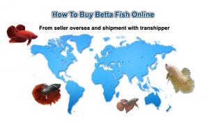 How to buy betta fish online from betta seller overseas.
