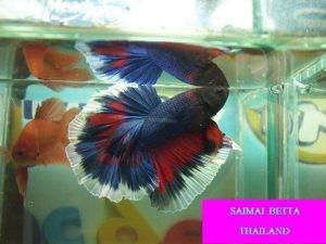 Saimai Betta Thailand - Thailand Seller