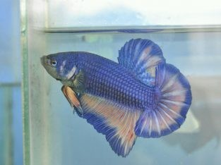 Blue Betta Fish – Blue Giant Betta – Body 6.2 cm