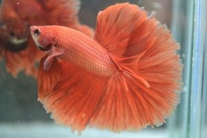 History Of Halfmoon Betta