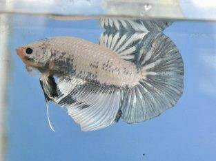 Giant Betta Marble – Body 6 cm+