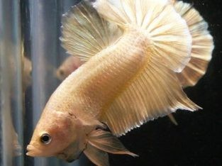Gold betta fish – Pair super gold HMPK ready for breed