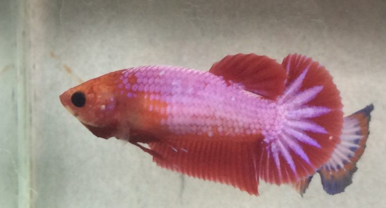 "Hmpk female star tail ""red fancy"""
