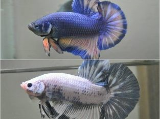 2 Male Blue gass & Marble Giant Betta Fish – Body 6 cm