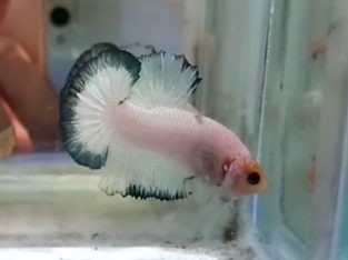 Marble betta – Marble Yellow Head HMPK 5 month