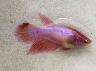 Pink betta fish – Pair Pink Viettail Betta For Sale