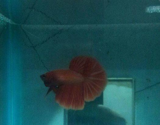 Female Betta – Red female halfmoon betta