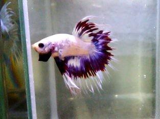 Purple butterfly No.1 (VDO)