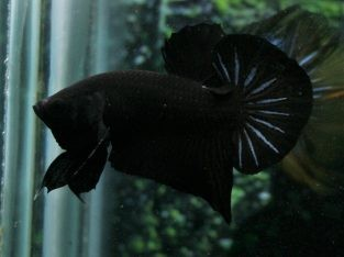 Black betta – Super Black HMPK