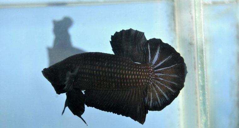 Black Betta – Super Black Giant Betta – Body 5 cm+