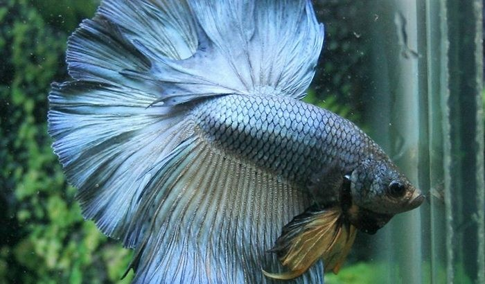 Blue Halfmoon Betta – Blue Betta Fish For Sale