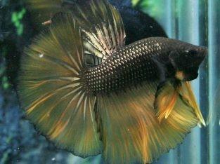Gold Black Halfmoon Betta For sale