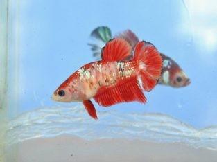Koi betta – Pair of koi hmpk ready for breeding