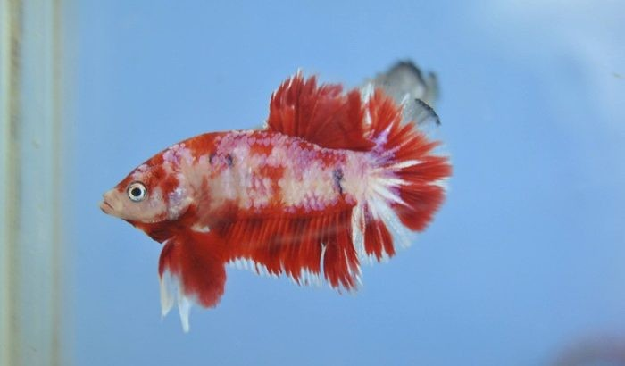 Koi betta – Red koi hmpk medium size