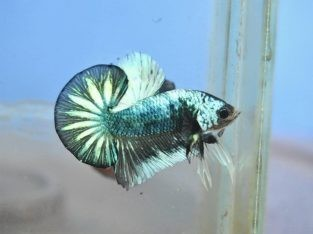 Marble Betta – Marble HMPK For Sale