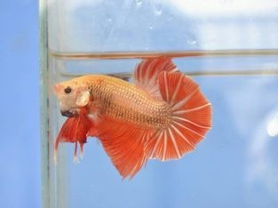 Red betta fish – Red giant betta – Body 5.2 Cm