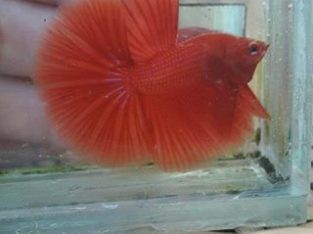 Red Halfmoon Betta For Sale From Indonesia Seller
