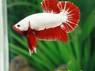 HMPK Red Dragon Male AA Grade Class B(Beginner Difficulty  Level) Ship to US only.