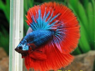 Halfmoon Betta Fancy Red-Blue MALE 2.5 months I Level (Intermediate Difficulty Level) Ship to US Only