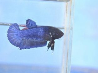 Pair Blue Giant Betta (Black Head) Good Form and Ready For Breed