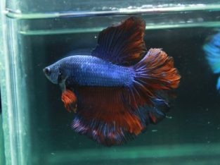 Rose tail red blue.