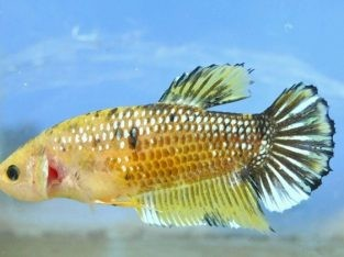 Female Yellow Fancy Giant Plakat Body 6.3 Cm