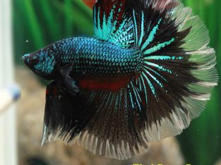 Halfmoon Rose-Tail Betta Emperor Green AAA grade Male 2.5 months (Advanced Difficulty Class) Ship To US Only.