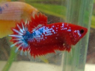 whole sale  fancy betta