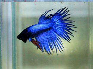 Blue metallic.