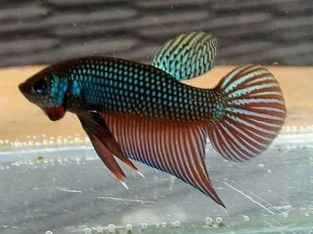 Pair Betta Smaragdina for sale