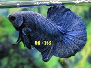 Blue HMPK #OK-153 For Sale – Blue Betta Fish