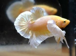 Dumbo HMPK For Sale – Pair Available – Golden Betta