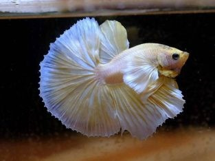 Male Dumbo Halfmoon Betta For Sale – Golden Betta