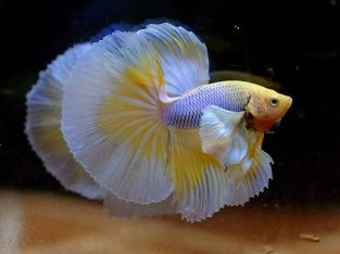 Male Dumbo Halfmoon Betta For Sale
