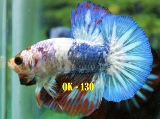 Fancy HMPK #OK-130 For Sale – Fancy Betta Fish