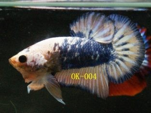 Marble Betta For Sale #OK-004 Collection Buy 10 Fish FREE 1 Fish