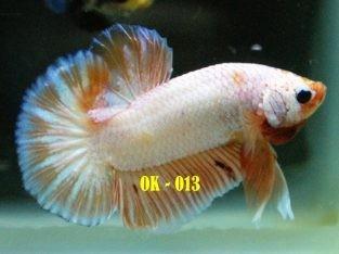 Orange Betta For Sale #OK-013 Collection Buy 10 Fish FREE 1 Fish