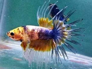 Pair Fancy Crowntail