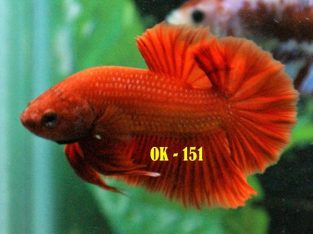 Red HMPK #OK-151 For Sale – Red Betta Fish