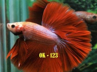 Red Halfmoon Betta For Sale #OK-123