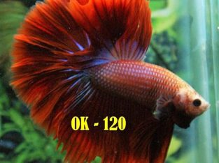 Red Halfmoon Betta For Sale #OK-120
