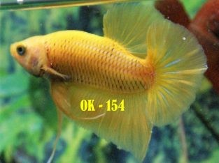 Yellow HMPK For Sale #OK-154  – Yellow Betta Fish