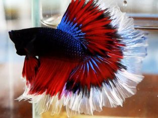 Fancy Betta Halfmoon Male 3.5 months M size Bred in Thailand Ship to US and PHILIPPINES.