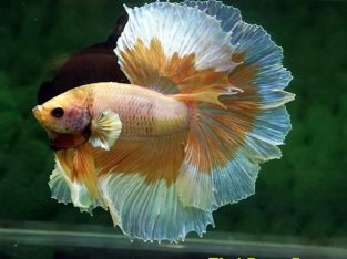 Fancy Butterfly Betta Halfmoon Cream Male 3.5 months (Advanced Difficulty Class) Ship To US and PHILIPPINES.