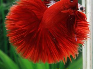 "Fancy Betta Halfmoon Rose-Tail ""Super Red"" AAA grade Male 3.5 months (Advanced Difficulty Class) Ship To US and PHILIPPINES."