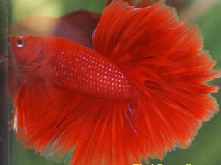 "Fancy Betta Halfmoon Rose-Tail ""Super Red"" Juvenile Male 2.5 months (Intermediate Difficulty Class) Ship To US and PHILIPPINES."