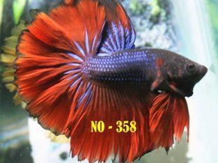 Blue Red Halfmoon Betta #No-358 For Sale