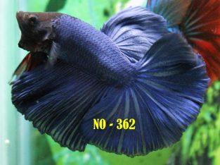 Blue Halfmoon Betta #No-362 For Sale