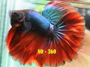 Fancy Halfmoon Betta #No-360 For Sale