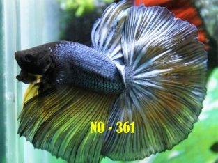 Fancy Halfmoon Betta #No-361 For Sale